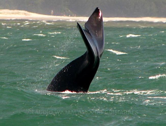 Baleias Francas, um espetáculo natural em Imbituva-SC.