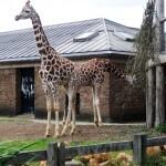girafas3
