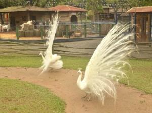 São Paulo com crianças Fazendinha Cia dos Bichos pavão albino