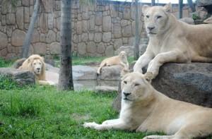 Beto Carrero Leões Brancos