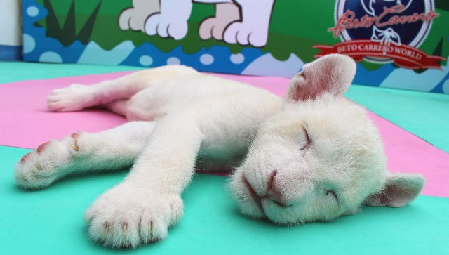 Beto Carrero Leo Branca Clara dormindo
