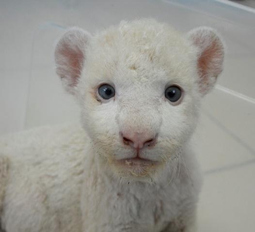 Pausa para suspiros: Clara é a primeira leoa branca do Brasil.