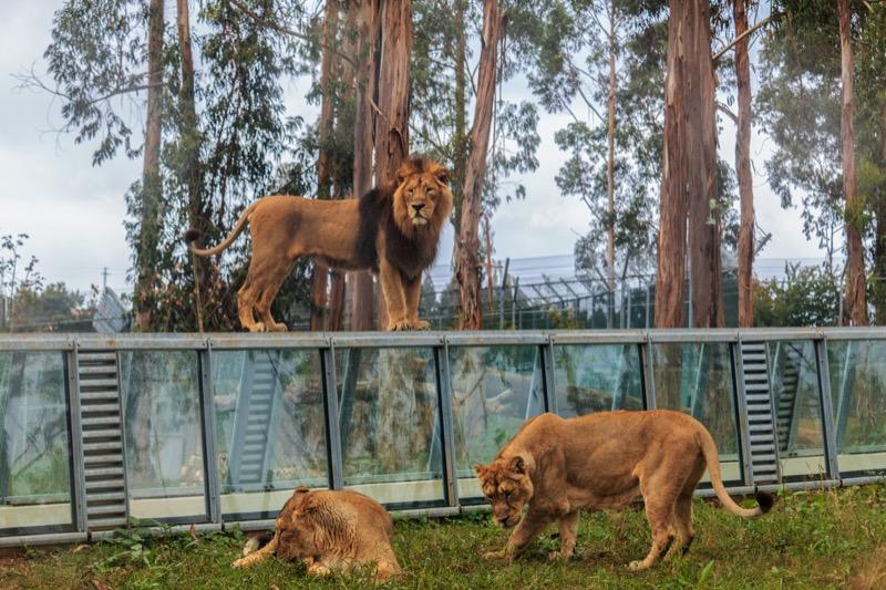 lion_demo3