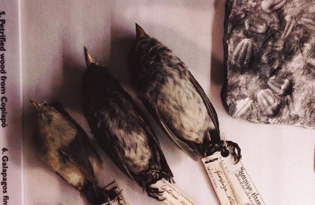passarinho darwin